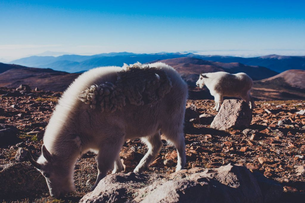 Mt. Evans Colorado - Mountain Goats